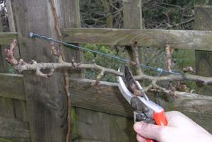 Winter Pruning my Pear Trees