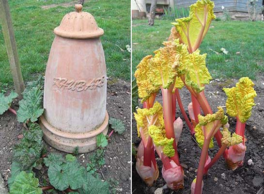 Forced Rhubarb