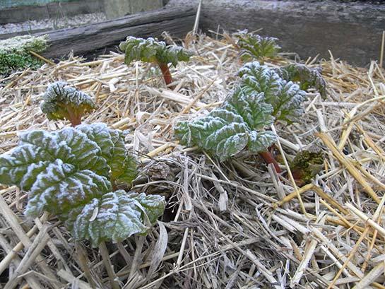 early-rhubarb