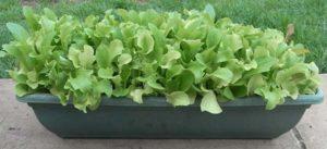 Early Salad Crops