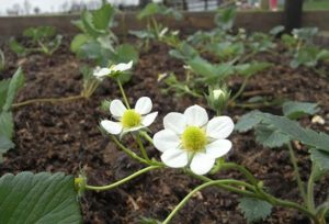 The Successional Strawberry Bed.
