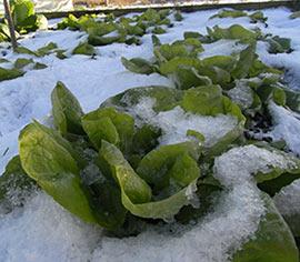 Arctic King Lettuce