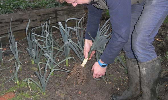 Harvesting leeks