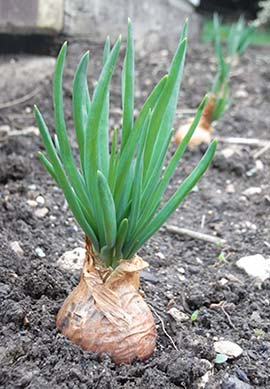 Shallots – Easy to grow, quick to harvest