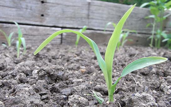 Sweetcorn Plant