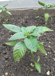 Chilli Growing Tips
