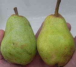 Comice pears ripe and unripe