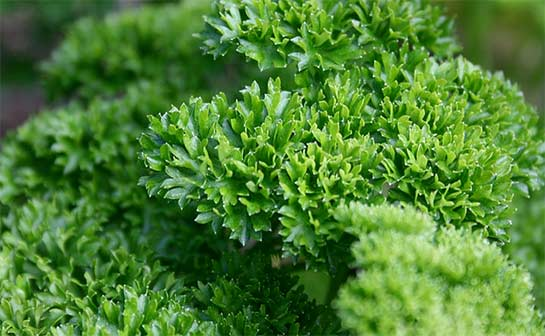 curley leaf parsley