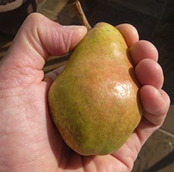 checking if a pear is ripe