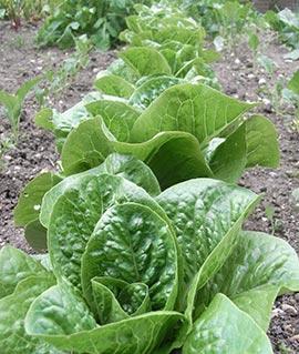 Lettuce in June