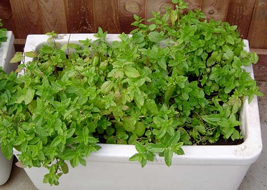 mint in an old sink