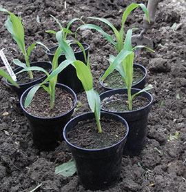 sweetcorn in pots