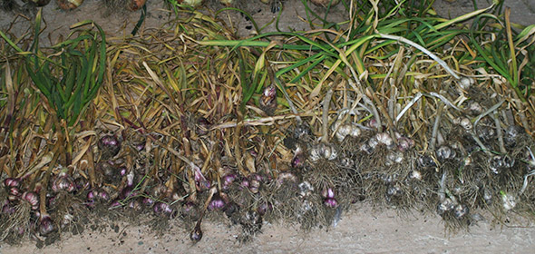 garlic-harvest