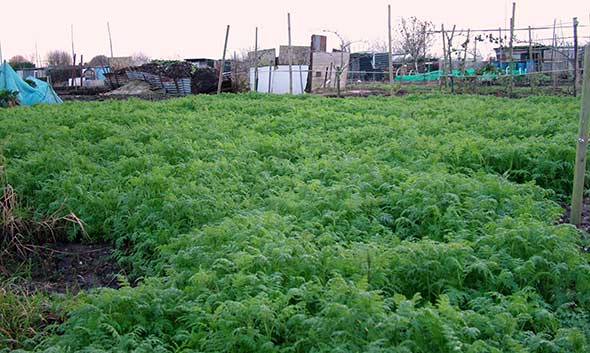 Green manure on allotment